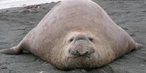 fat-seal